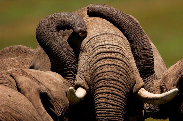 African Bush ElephantLoxodonta africanaMasai Mara National Reserve, KenyaPhoto Credit: Frederico Veronesi