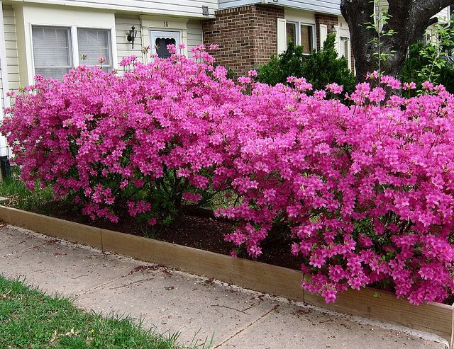 Azalea. Cheap and easy to find. Plant a bunch a fill in with a few others from the board.