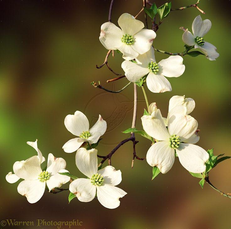 Images For > Flowering Dogwood Flower