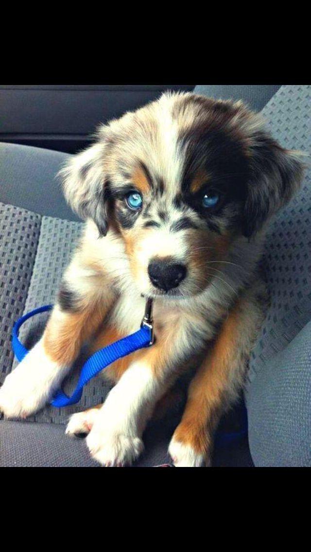 Labrador Husky Cross Puppy Love Animal Heaven