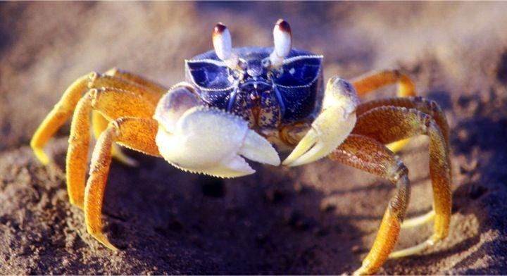 Crab pincer stridulation--or how crabs make sound.