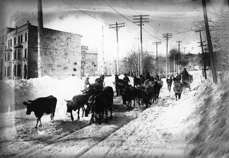Bétail sur le chemin de la Côte-des-Neiges, Montréal, QC, vers 1900