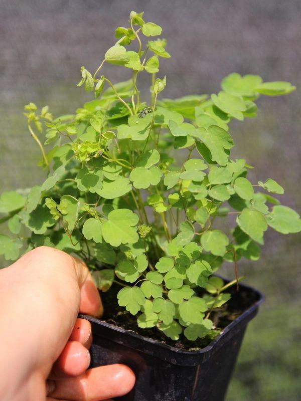 Chmura Kwiatow Bajeczna Rutewka Delavaya 7799490573 Oficjalne Archiwum Allegro Herbs
