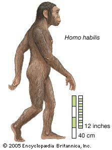 """Homo habilis,( Latin: """"able man"""" or """"handy man"""")extinct species of human, the most ancient representative of the human genus, Homo. H. habilis inhabited parts of sub-Saharan Africa from perhaps 2 to 1.5 million years ago (mya). In 1959 and 1960 the first fossils were discovered at Olduvai Gorge in northern Tanzania. This discovery was a turning point in the science of paleoanthropology because the oldest previously known human fossils were Asian specimens of Homo erectus. Many features of…"""