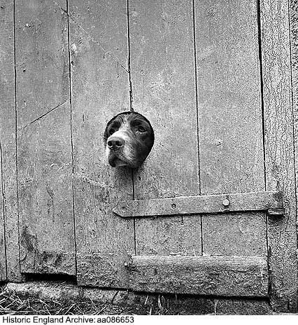 AA086653 A springer spaniel peering out from a small circular hole cut into the wooden plank door of a barn or similar agricultural outbuilding. Photographed on a farm in an unidentified area of Cornwall    Date1950 - 1958 Photographer: John Gay