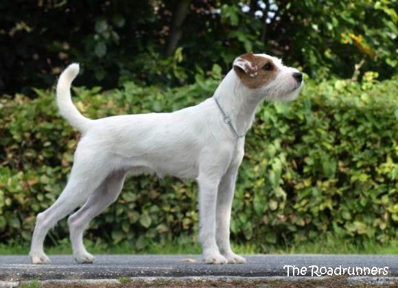 Unser Parson Jack Russell Terrier ist ein absolut liebenswerter kleiner Rocker, stets vergnügt und zu nahezu jeder Schandtat bereit. Für unt...