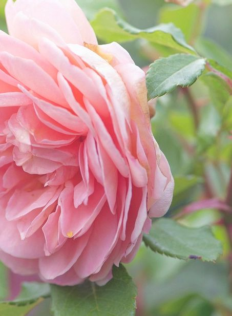 Rose is a proven anti-ageing skin care ingredient