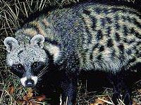Civit Cat - Warthog Lodge
