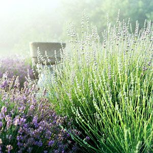 From Midwest Living - How to Grow Lavendar in the Midwest.   Did you know Lavendar is a sunburn treatment?: Gardens Ideas, Green Thumb, Grow Lavender, Midwest Living, Midwest Garden, Backyards Ideas, Flower, Gardens Growing, Growing Lavender