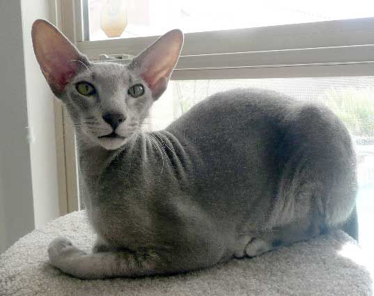♥CG♥ 130 Peterbald Cat Origin: Russia