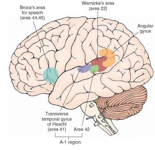 48 terms · brain structures for language, Broca's area, Wernicke's area, transverse gyrii of Herschl, supermarginal and angular gyrii, pars orbitalis, pars triangularis, pars opercularis, primary motor cortex, substa