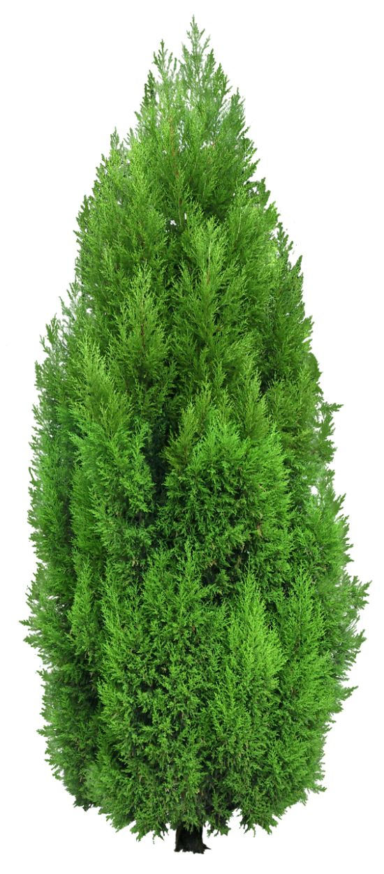 Cypress Tree PNG Clipart