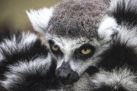 Zoobotanico Jerez :: LÉMUR DE COLA ANILLADA