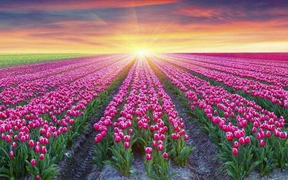 Würde ich gerne mal sehen die Tulpenfelder in Holland