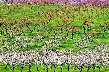 Apple orchard in bloom, Okanagan Valley