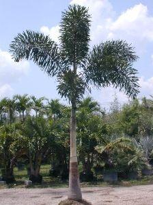 Foxtail Palm   Florida Nursery Mart