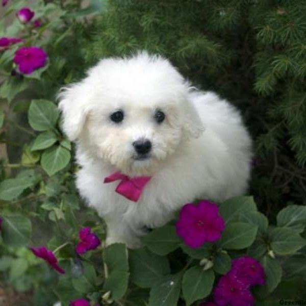 Cleo Bichon Frise Puppy For Sale in Connecticut Bichon