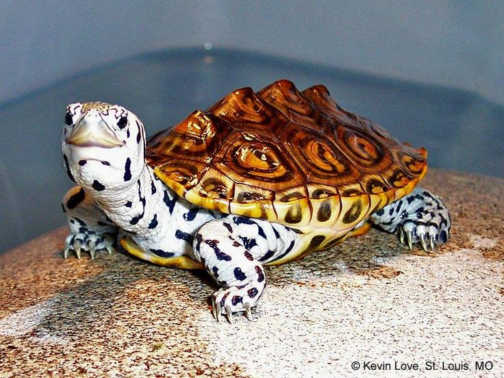 The Diamondback Terrapin Turtle! This turtle is like a zebra and a turtle! Two of my favs!