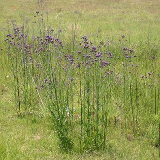 Tall verbena | Verbena bonariensis