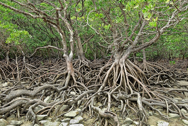 At the southern end of Myall Beach is a cluster of mangrove trees. The northern end of this beach is bordered by Cape Tribulation.