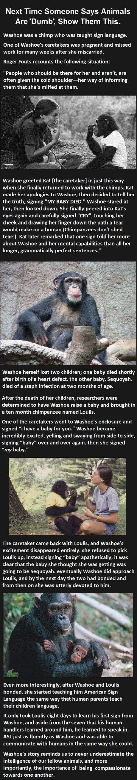 After reading this story you will understand how motherhood and loss are universal. Washoe, an exceptionally smart chimpanzee who knew sign language, was not happy with her caretaker Kat, who hadn't visited for some time. However, when Kat told her that Washoe had recently lost her baby, Washoe indicated signs for grief. She even made…