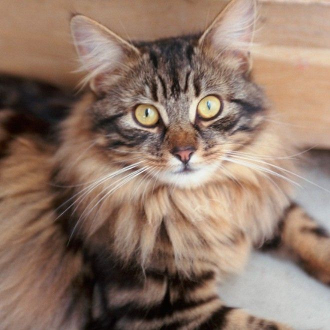 long haired tabby kitten   Cute Cats Pictures