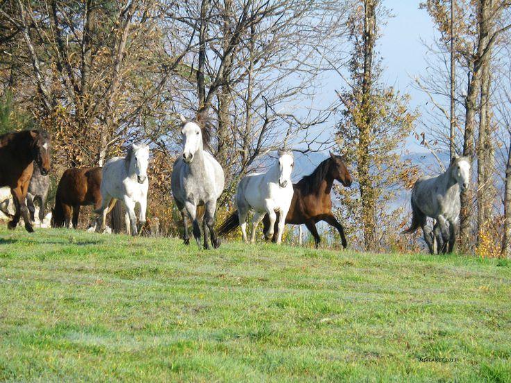 elevage chevaux arabe barbes