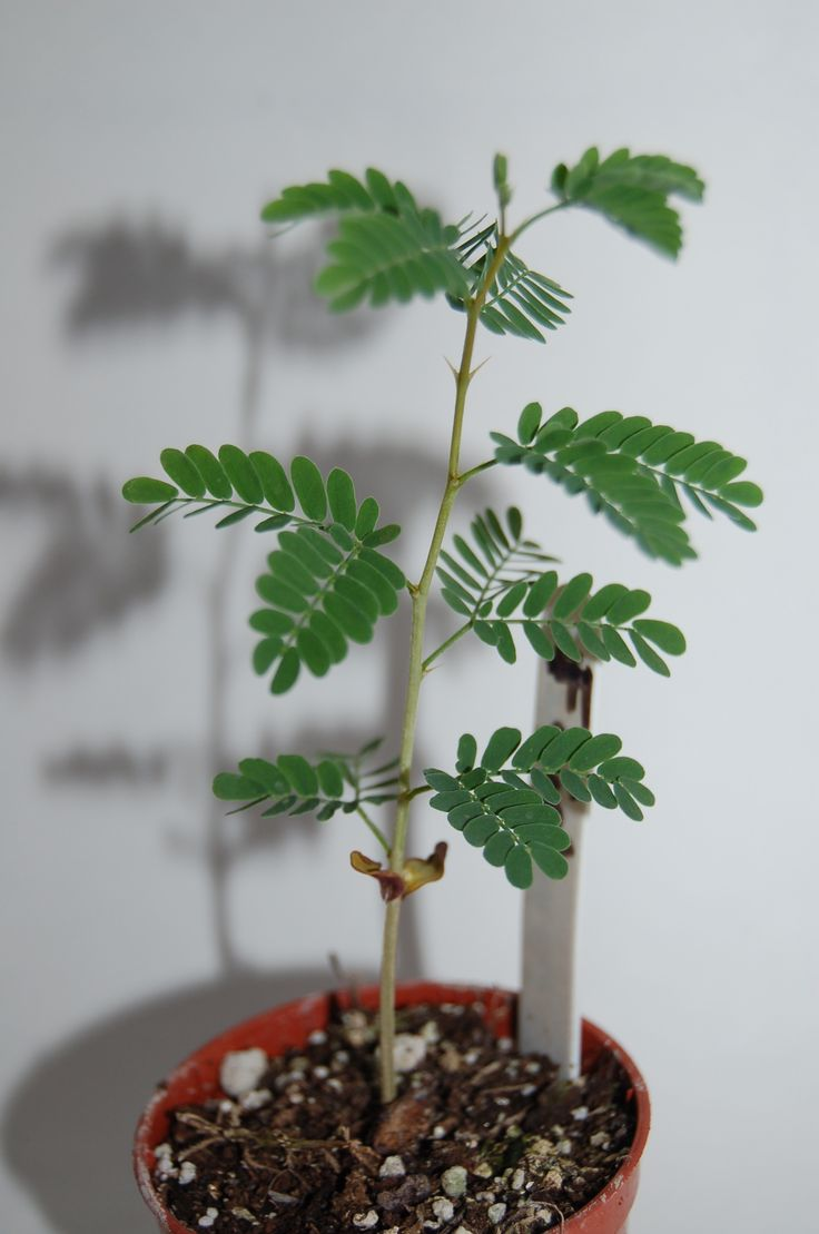 Faidherbia Albida Sapling Bonsai Saplings From 4 Months