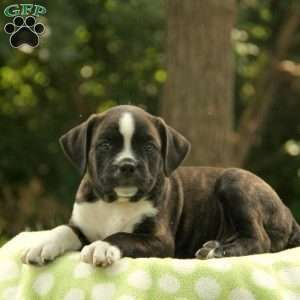 Terrier Mix Boston Terrier Mix Puppy In Kinzers Pa Boston