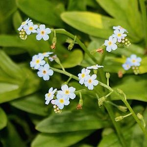 MYOSOTIS SCORPIOIDES (Forget me not)  UK