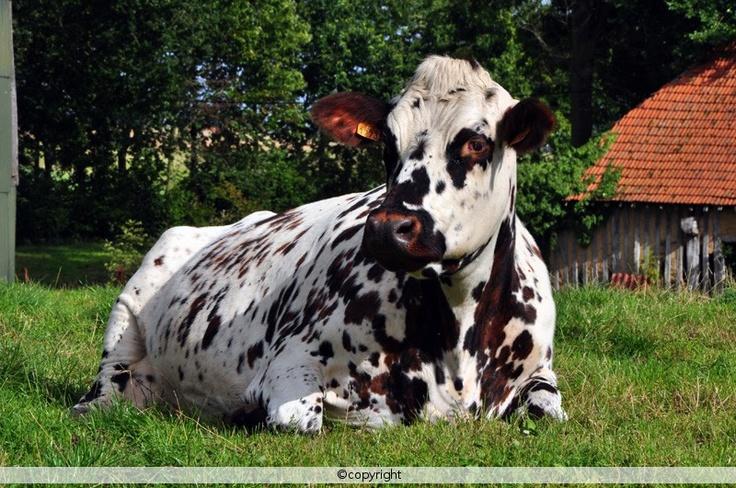 j'me casse ... 49f4161d82871ddb4ed0848310d690bb--raising-cattle-barnyard-animals