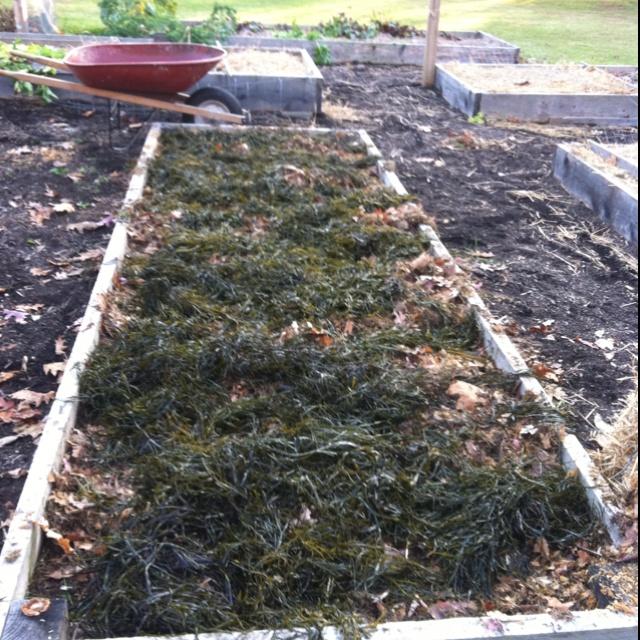 11 Best Garden Greens Images On Pinterest Seaweed Seaweed Wrap And Vegetable Garden