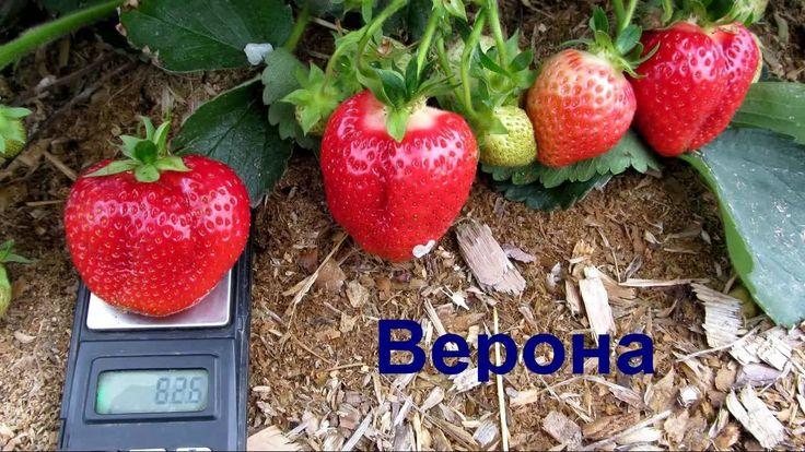 Верона - самый лучший сорт клубники КСД. Урожай 2016