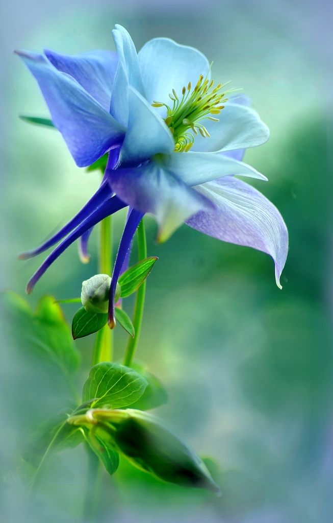 Aquilegia by Marlies Prieckaerts on 500px
