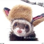 """1,357 Likes, 17 Comments - Rescue Ferrets (@ferret_farm) on Instagram: """"Presenting to you this designer (hand-made) hat 😅"""""""