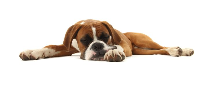 Is Your Dog Lethargic? | Lethargic Dog Causes, Symptoms, and Treatment
