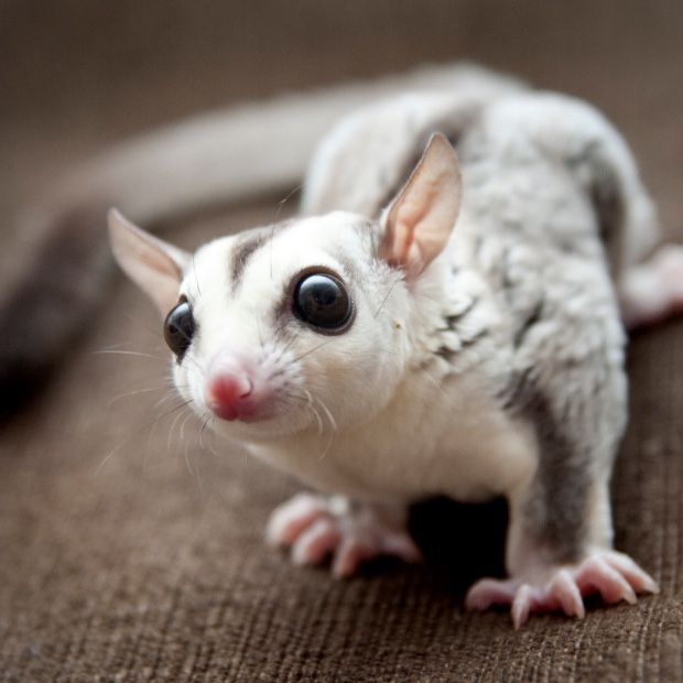 The Mahogany Glider Is An Intimidated Species That Has Seen Countless Variables Effect Is Standard Habi Cute Australian Animals Australian Animals Sugar Glider