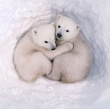 Polar Cubs den