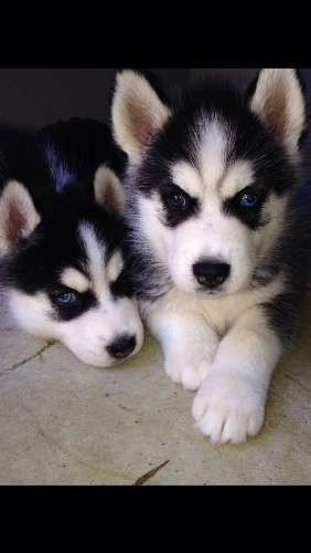 2 Husky puppies available on the 30/4/15 (8 weeks old). will come vaccinated, vet checked and wormed every 2 weeks since birth. one female with two blue eyes, black and white, and one female bi eyed (one blue and one brown eye) black and white - http://www.pups4sale.com.au/dog-breed/488/Siberian-Husky.html