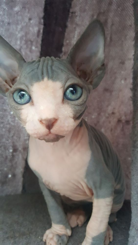 1 Male Canadian Sphynx Kitten For Sale The Kitten Will Be Full Vaccinated And Dewormed Litter Trained In 2020 Sphynx Kittens For Sale Kitten For Sale Cat Training