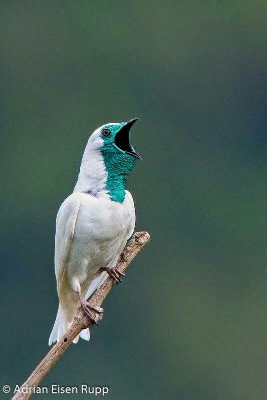 Bare-throated Bellbird from Argentina.