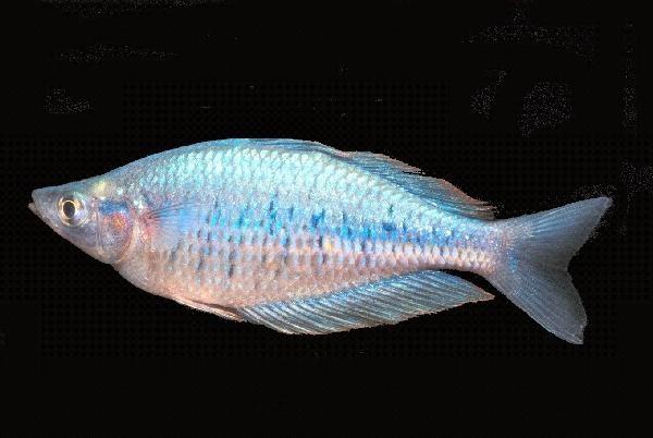 The 25 best ideas about australian rainbow fish on for Freshwater rainbow fish