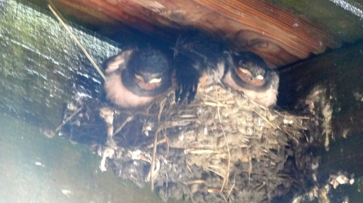 Baby swallows getting a bit big for their nest?