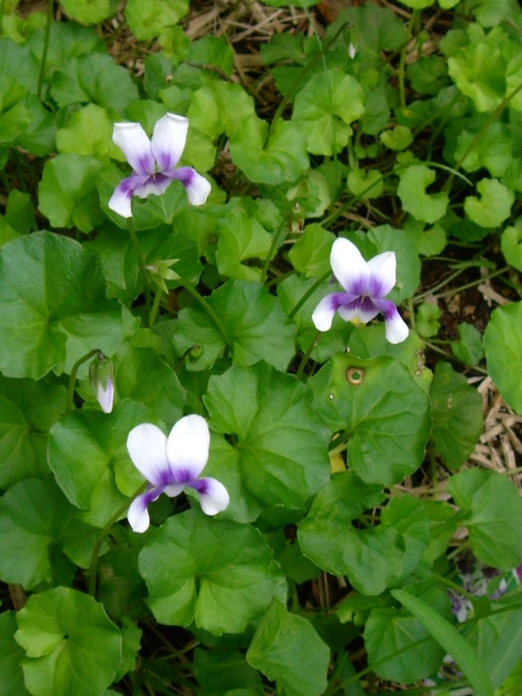 Native violets in our hinterland #garden #violets #nature #plants