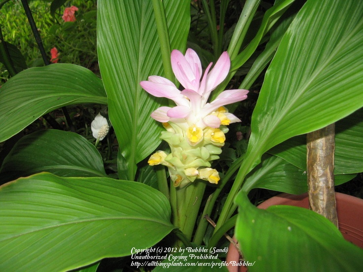 Curcurma longa bloom = Grocery store turmeric can be sprouted at home!