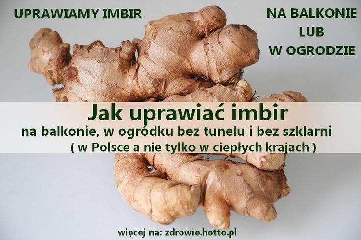 zdrowie.hotto.pl-jak-uprawiac-imbir-w-polsce-w-ogrodzie--na-balkonie-SWIEZY-IMBIR-HODOWLA