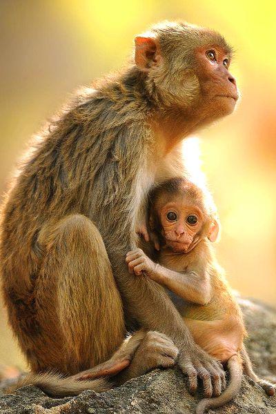 Bonnet Macaque BY~Sandeep Dutta.