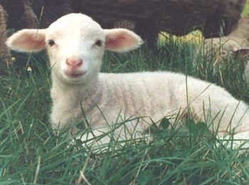 Lambs are cute and funny.