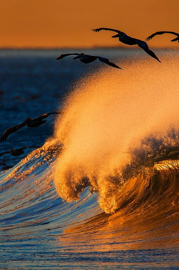 Pelicans soaring over breaking wave at sunset By David Orias