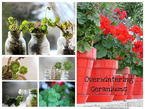 Overwintering Geraniums - Cold weather climates you have two choices for winter for geraniums. Bring the plant in for winter or leave it die.